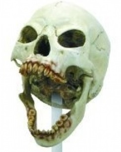 Female Vampire Skull sold on the Internet.  The Skull Find near Tucson must have been similar only massive